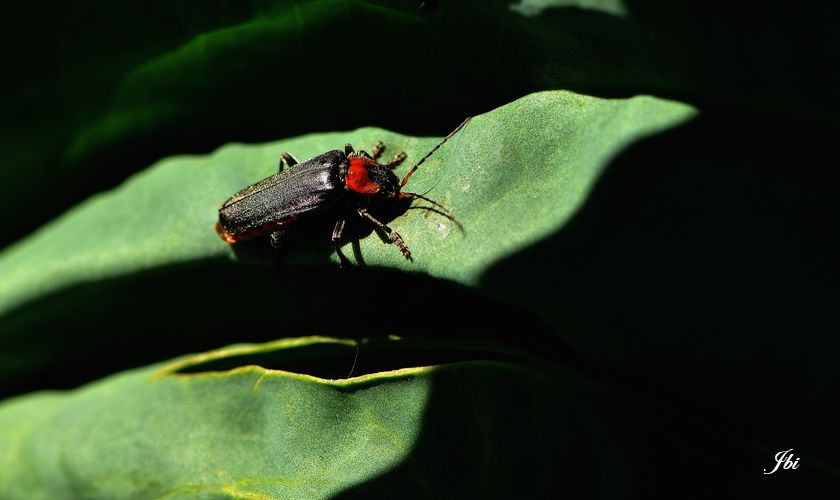 Cantharide commune  (Cantharis fusca)