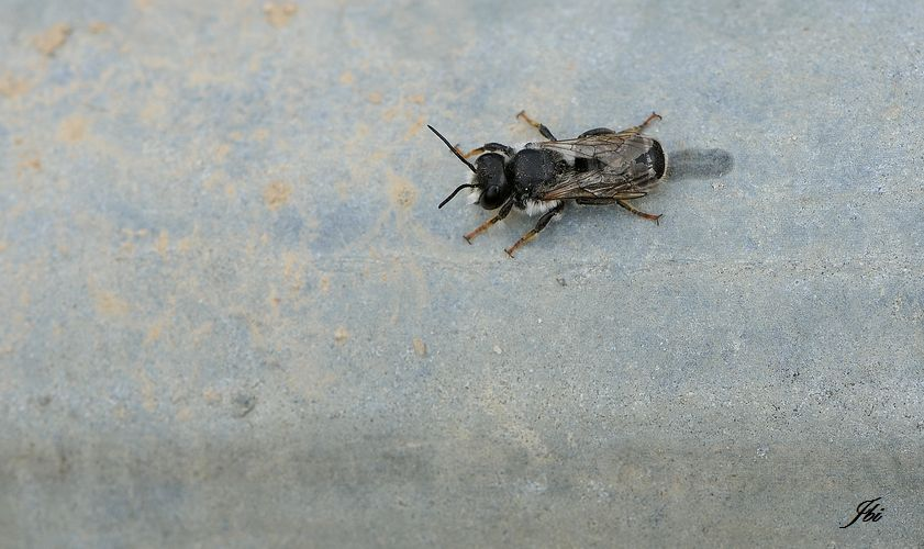 Andrena vaga     (Andrène vague)