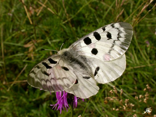 Apollon  (Parnassius apollo)