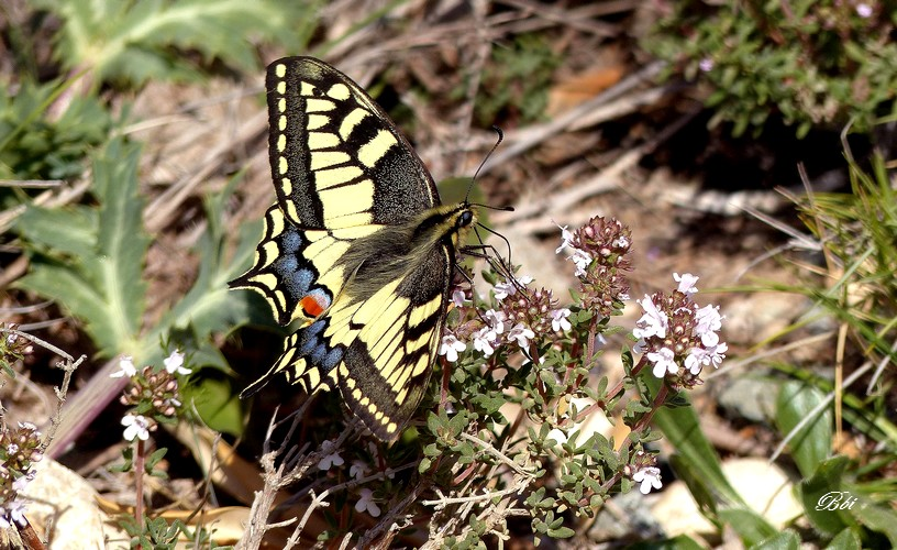 Machaon   alias Grand porte-queue   (Papilio machaon)