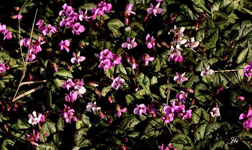 Cyclamen coum alias Cyclamen de Cos